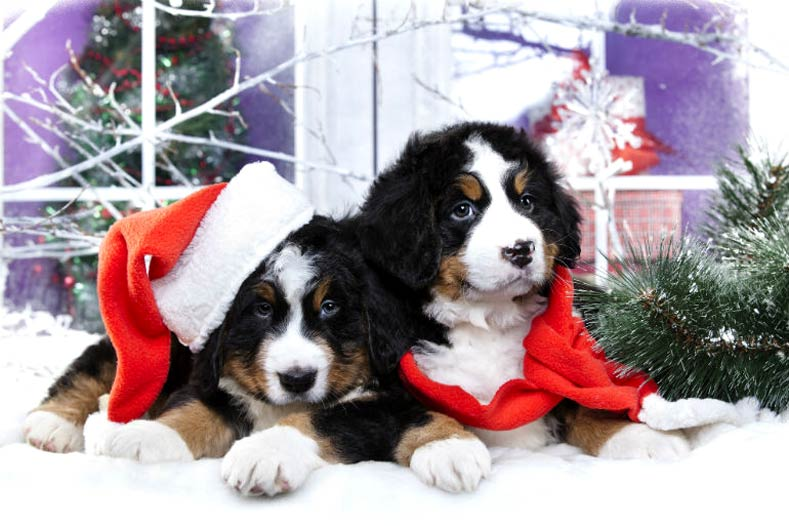 Christmas Puppies.Puppies During The Holidays Tips For Handling Holiday