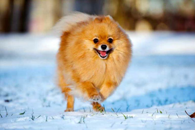 Pomeranian Winter Paw Protection