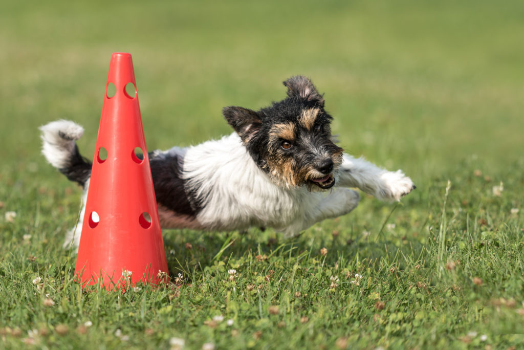 russell terrier runs around cone