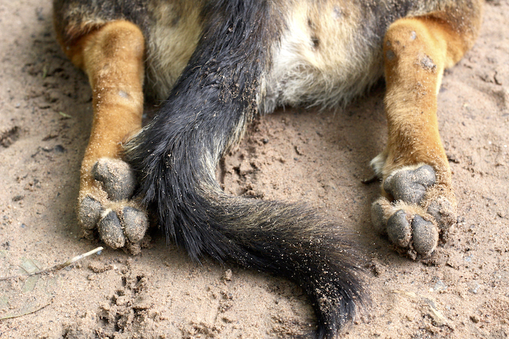 Feet and tail of a dirty dog laying down in sand.