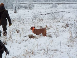 Vizsla-pointing-in-the-snow-2018-AKC-Gun-Dog-coverage