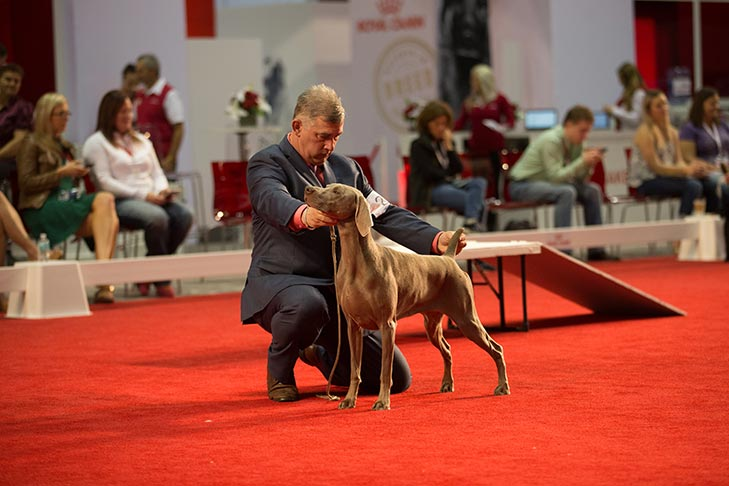 Best in Stakes and National All-Breed Puppy and Junior Stakes Best of Breed: GCH CH Unity's Maid An Entrance CGC, Weimaraner; Best in Stakes judging for the National All-Breed Puppy and Junior Stakes at the 2017 AKC National Championship presented by Royal Canin, Orlando, FL.