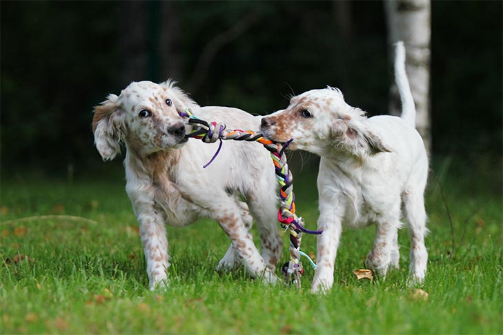 Two English Setter puppies playing with a rope outdoors.