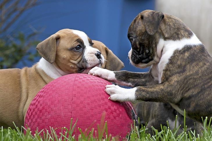 Three Boxer puppies playing with a big rubber ball outdoors.