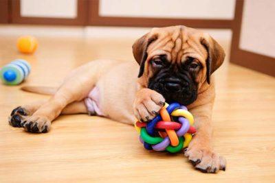 bullmastiff-puppy-with-toy-wood-floor-header
