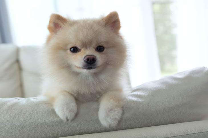 pomeranian-on-couch-hero