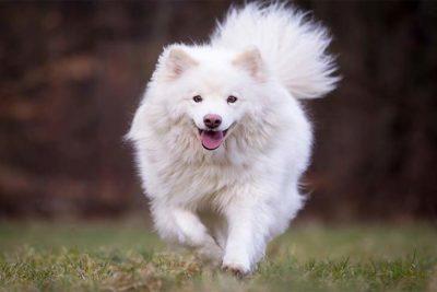 Finnish-Lapphund-running-outdoors-header
