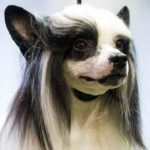 Chinese Crested Westminster