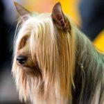 Silky Terrier Westminster