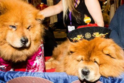 Two Chow Chows Westminster