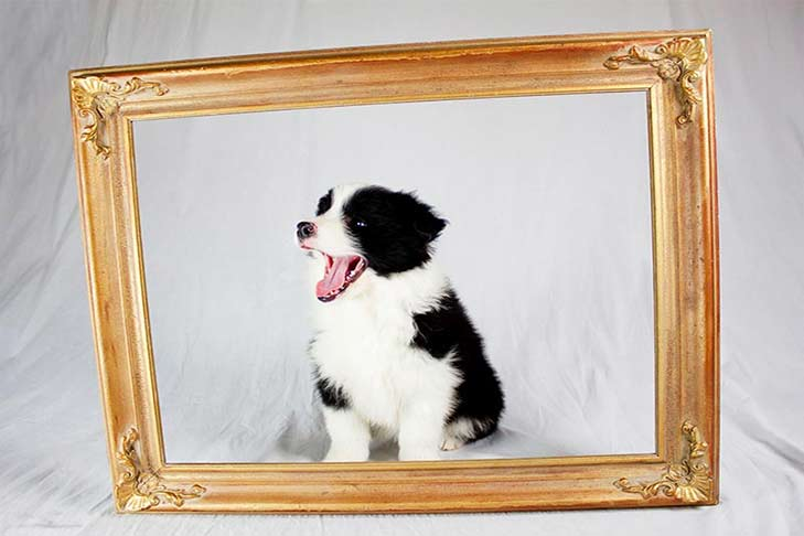 border-collie-puppy-with-frame-header