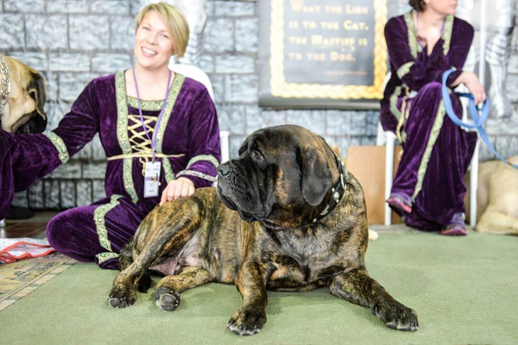 Mastiff Meet the Breeds