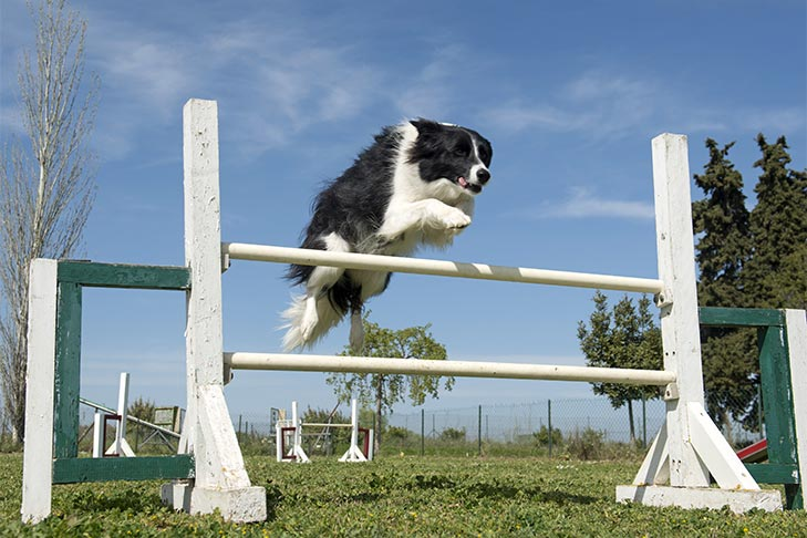 Border Collie leaping over an agility pole.