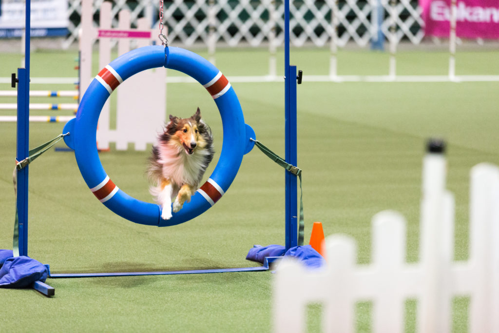 Agility Competition Tire Jump