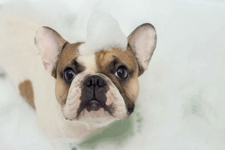 french bulldog in the bath