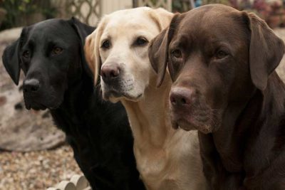 labs-in-all-three-colors