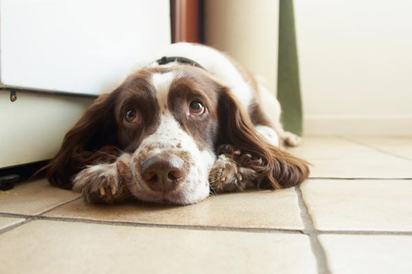 english-springer-spaniel-looking-guilty-on-floor-body