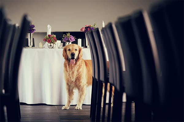 golden-retriever-at-wedding-reception-body