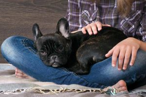 french-bulldog-asleep-girls-lap-header
