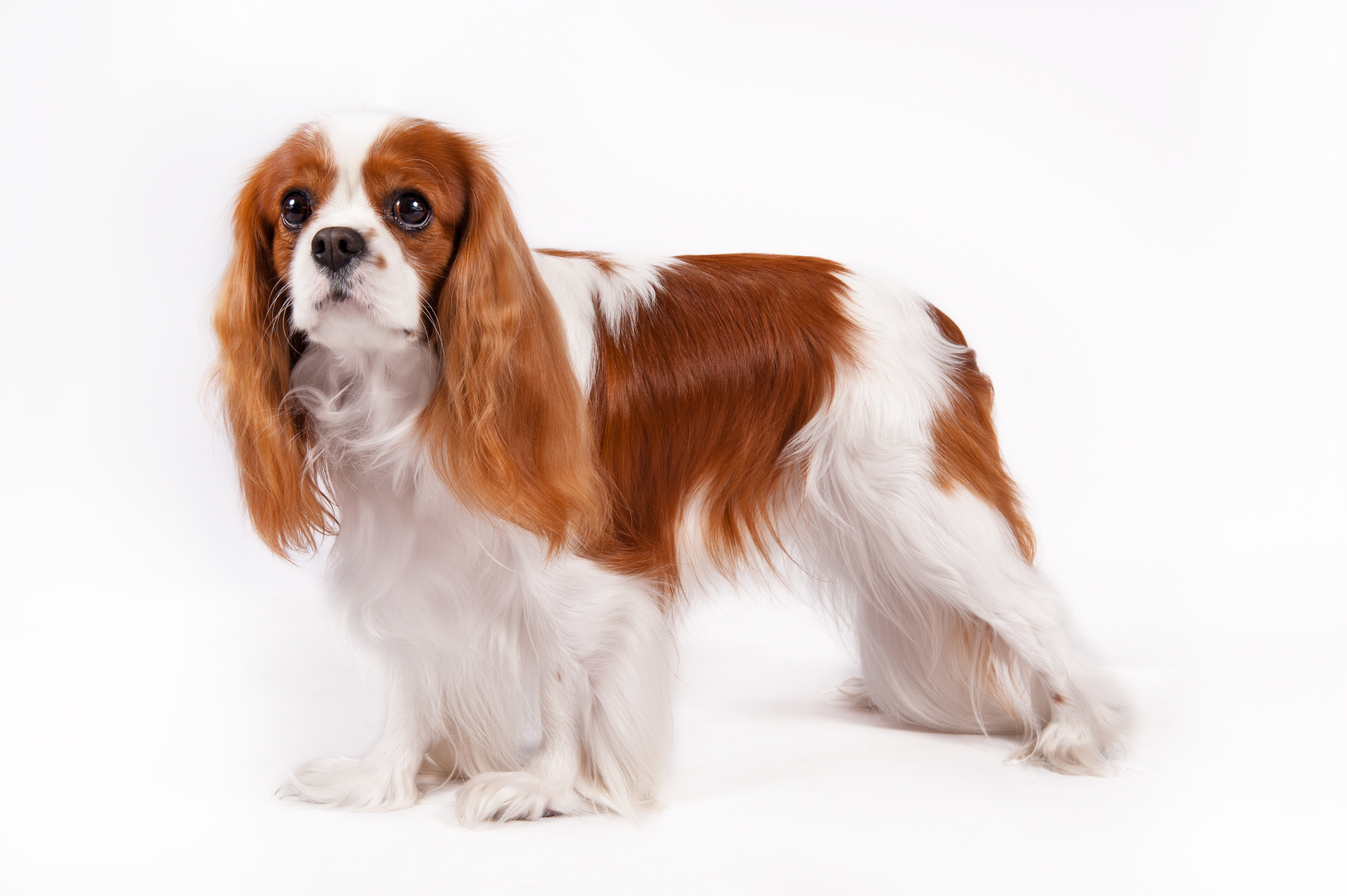 Dog Breeds Beloved by Royalty: Salukis, Shih Tzus, and More