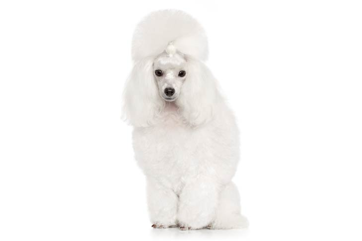 White Toy Poodle Sitting