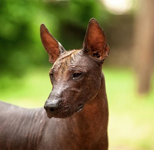 Ancient Mexican Hairless Dogs