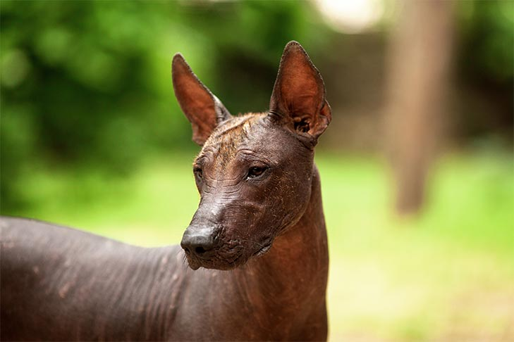 An Introduction To Mexican Dog Breeds The Xoloitzcuintli And Chihuahua