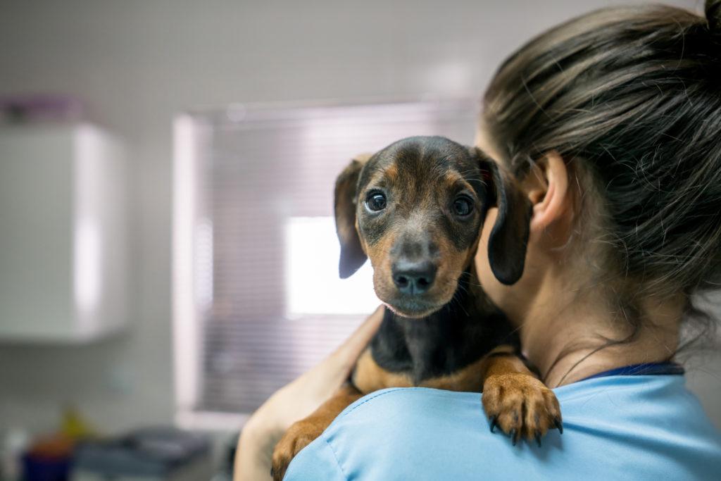 dachshund at vet