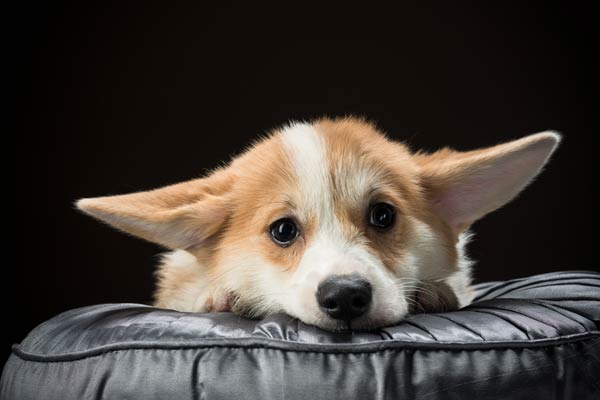 worried-corgi-body-image