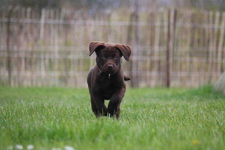 Chocolate Labrador Retriever puppy running outdoors.