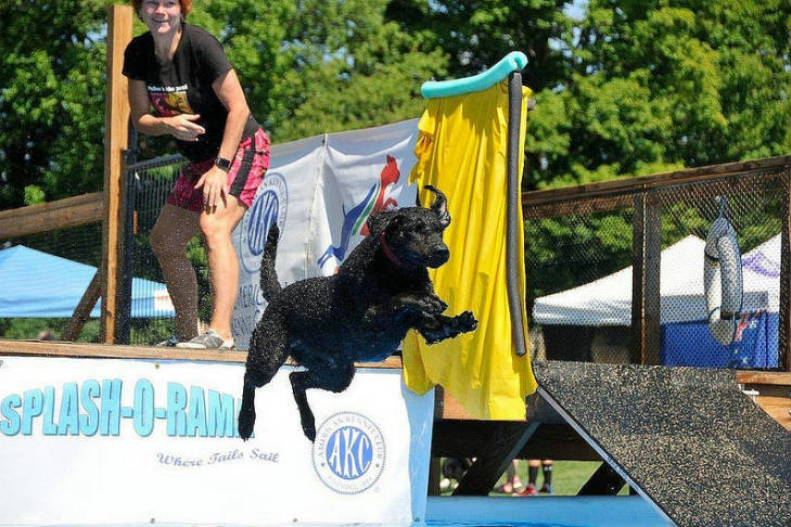 curly-coated-retrievers-dock-diving