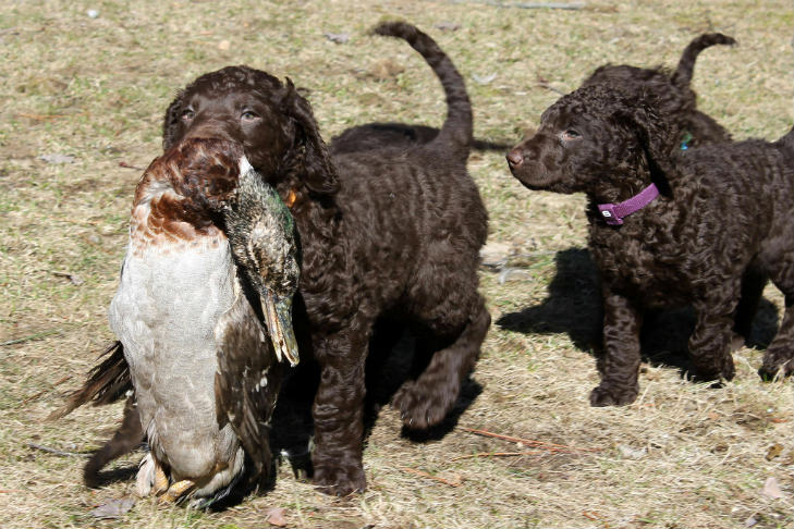 Curly Coated Retriever puppies outdoors, one with a duck in its mouth.