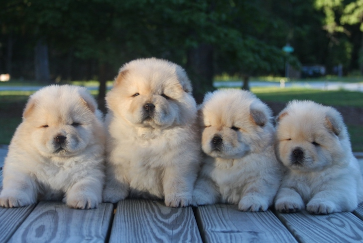 AKC Breeder of Merit: Recognizing Breeder Success with New