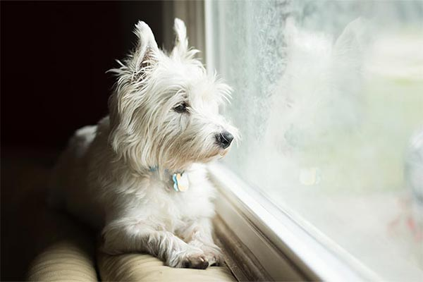 westie-looking-out-window