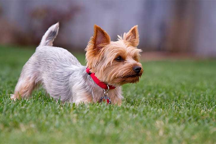 yorkshire-terrier-in-yard-header