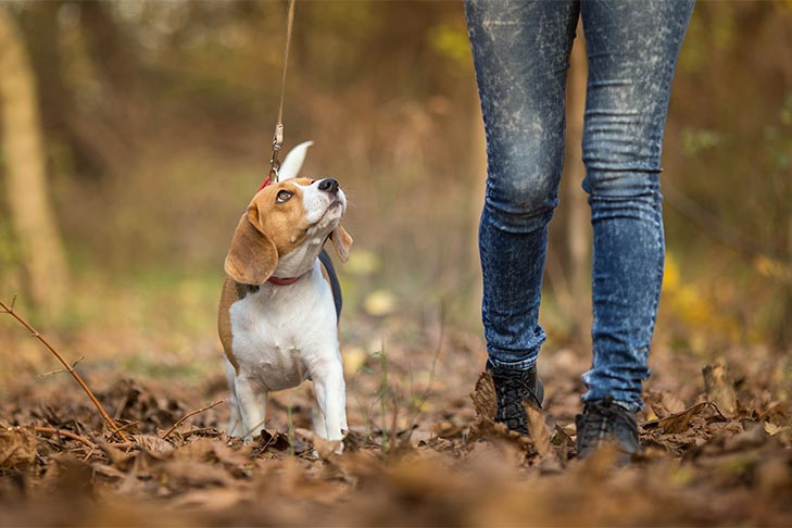 Beagle walking in the Fall with a woman.