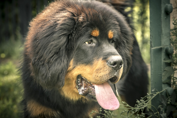 Tibetan Mastiff head portrait outdoors.