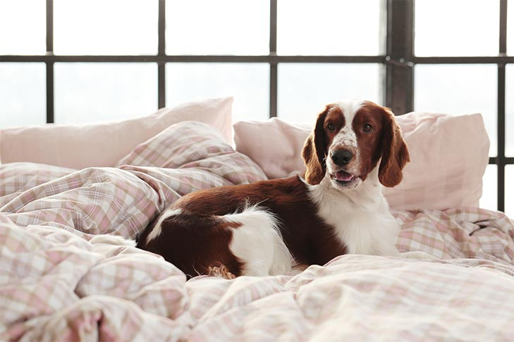 brown and white dog laying in bed