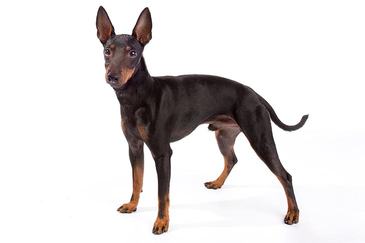 Toy Manchester Terrier standing in three-quarter view