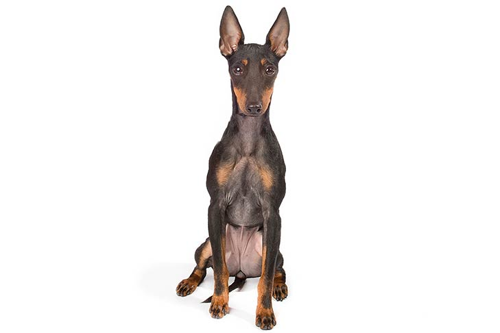Toy Manchester Terrier sitting facing forward