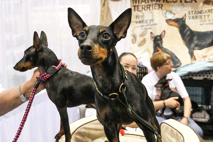Toy Manchester Terriers at the AKC Meet the Breeds during the 2016 AKC National Championship presented by Royal Canin, Orlando, FL.