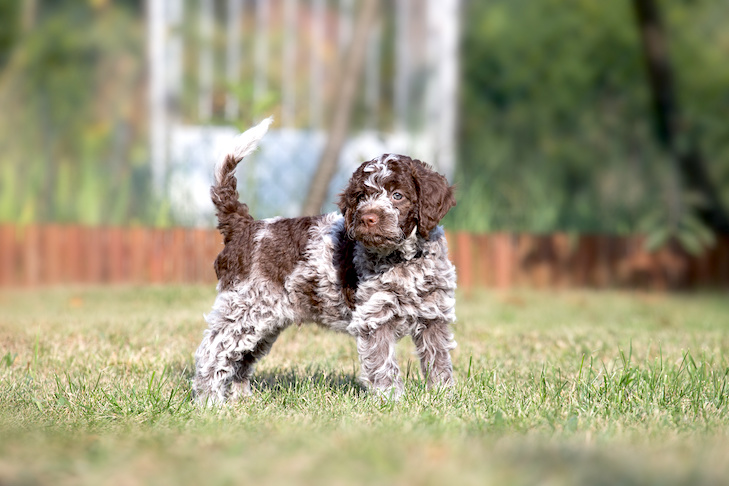 Lagotto Romagnolo puppy standing in the yard.