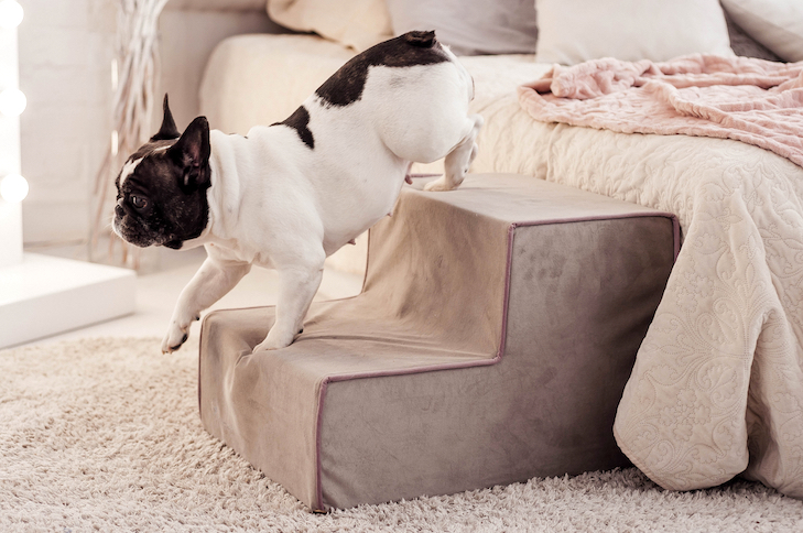 French Bulldog walking down the stairs next to the bed.