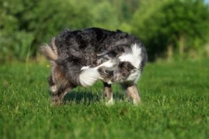 why do dogs chase their tail