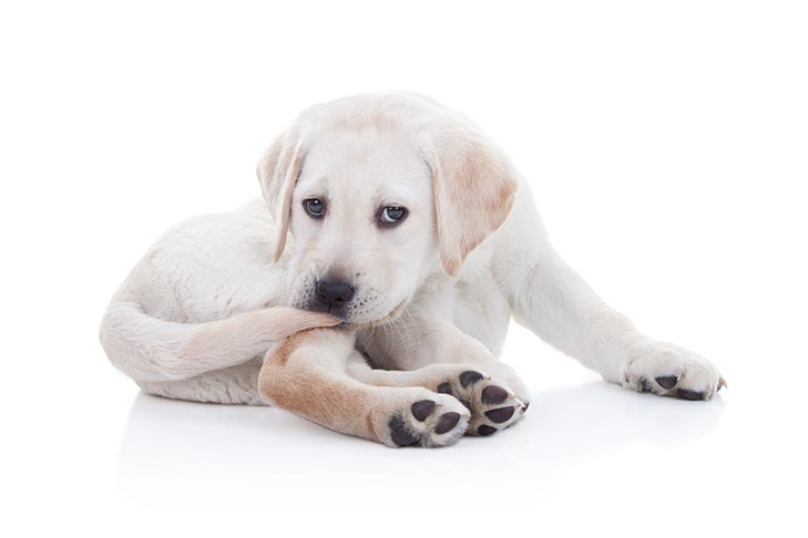 Why Do Dogs Chase Their Tail American Kennel Club