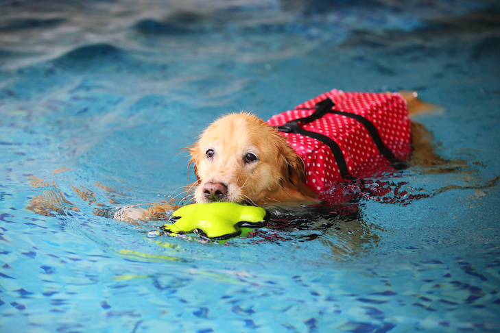 Golden Retriever swimming wearing a life vest fetching a toy.