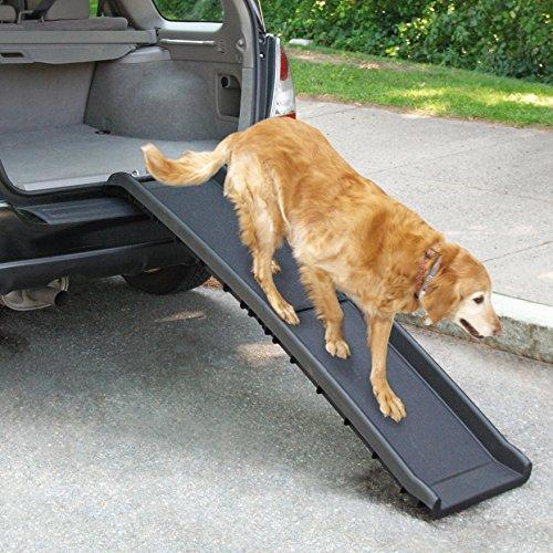 Senior Golden Retriever walking down a ramp from the back of a car.