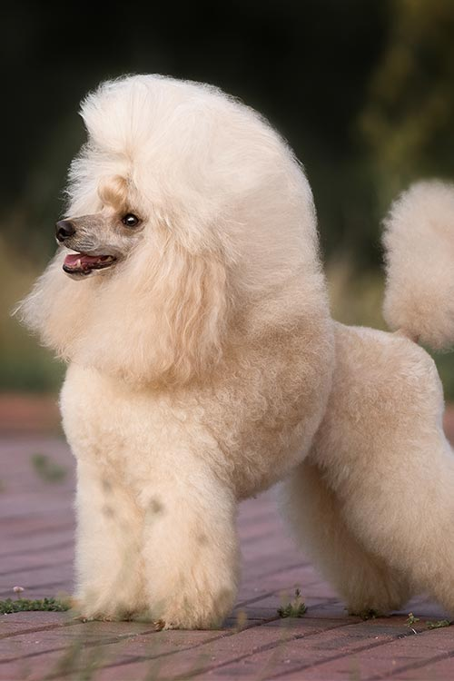 Poodle (Toy) Dog Breed Information - American Kennel Club