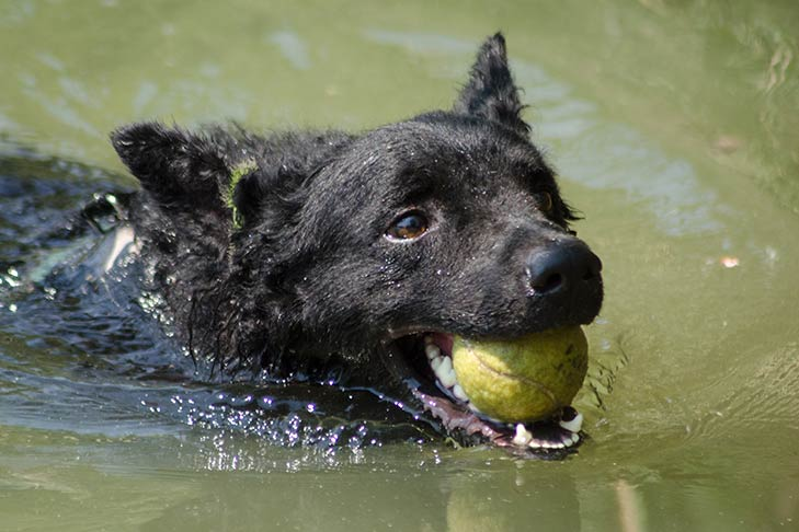 Croatian Sheepdog swimming with a ball in its mouth.
