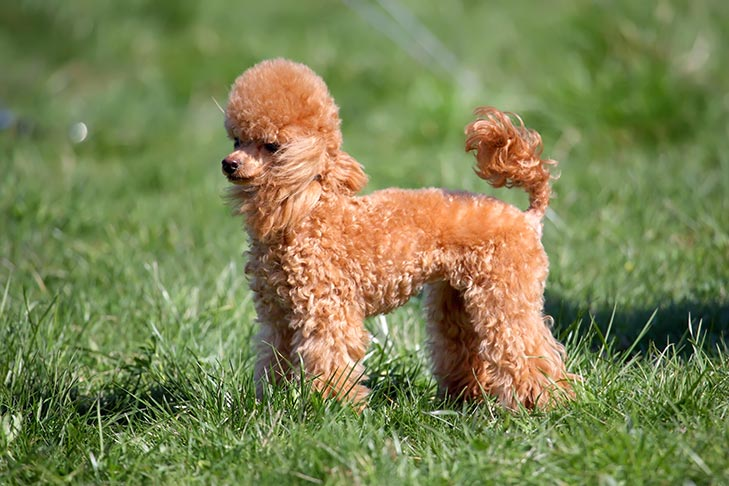 Toy Poodle standing in the grass.